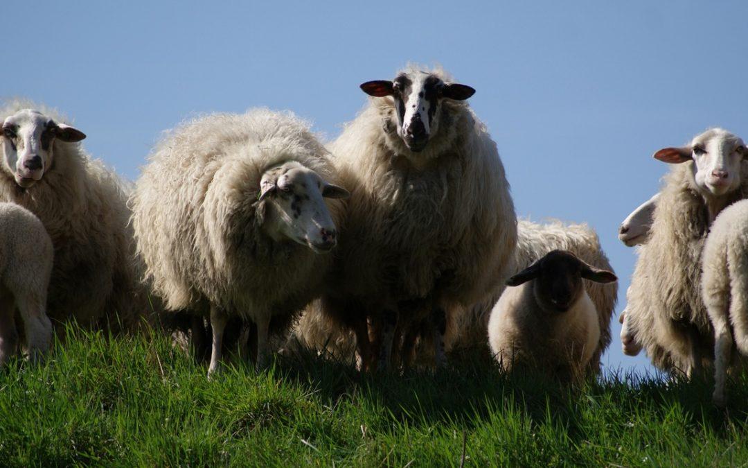 Määäh macht das Schaf